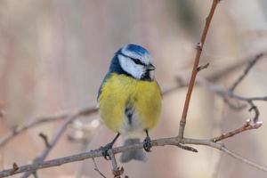blauwe en gele vogel foto