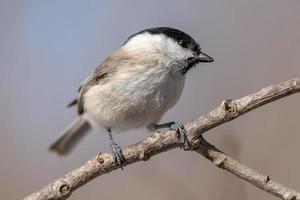 moerasmees vogel in de lentezon foto