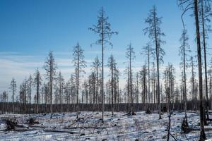resterende dode bomen na een bosbrand foto