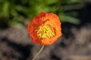 oranje papaverbloem in zonneschijn foto