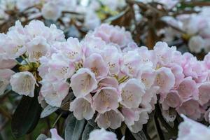 roze en witte rododendronbloemen foto