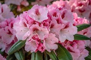 lichtroze rododendronbloemen foto