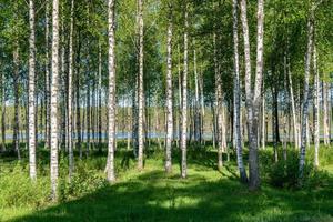 bos van berkenbomen foto