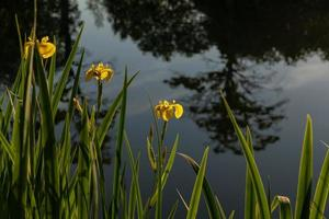 gele vlaglelies die in een rij bij het water groeien foto
