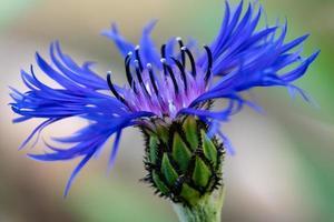 blauwe motorkap bloem foto
