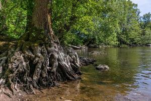 boom aan het water met vreemde wortels foto