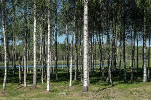 bos van berkenbomen in de zomertijd foto