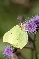 gele zwavel vlinder foto