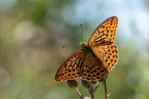 mooie grote oranje vlinder foto