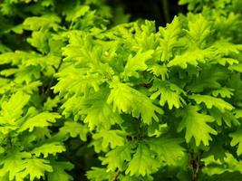 frisse heldergroene eikenbladeren in het voorjaar foto