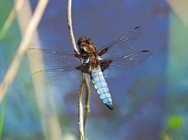 breed-bodied jager libel, libellula depressa, rustend op een riet foto