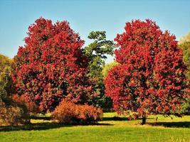 prachtige oktober-glorie-esdoorns met rood de herfstgebladerte foto