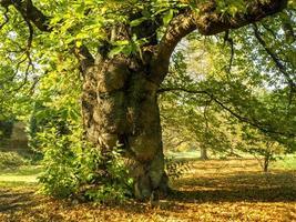 oude tamme kastanjeboom in de herfstzonlicht foto