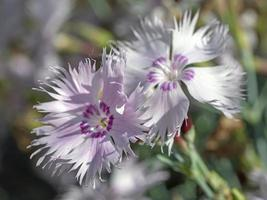 twee bloemen van dianthus gevederde roze in een tuin foto