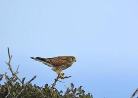 torenvalk - falco tinnunculus, griekenland foto