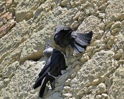 euraziatische kauw - corvus monedula, griekenland foto