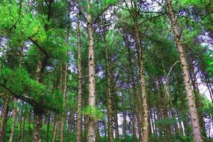 dennenbos in de natuur foto