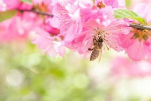 close-up van een bij onder sakura bloemen met onscherpe achtergrond foto