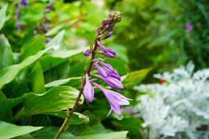 paarse bloemen in een bloembed in een tuin foto