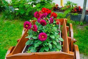 rode dahlia's in een bloembed in een tuin foto