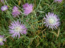 paarse bloemen in de natuur foto