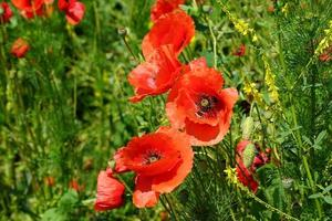 bloeiende bloemen van rode papaver op achtergrond foto