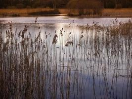 riet in gouden zonlicht, potteric carr, South Yorkshire foto