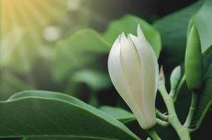 witte champaka-bloem of michelia alba foto