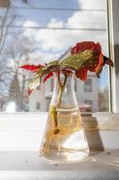 begonia's worden vermeerderd op de vensterbank foto