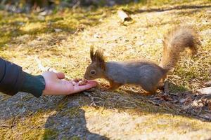 persoon hand voeden van een eekhoorn foto
