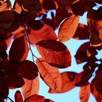rode bladeren tegen de hemel foto