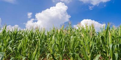 maïsvelden onder de blauwe lucht foto
