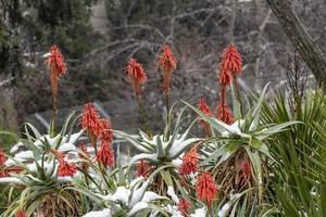 rode bloemen op aloë vera onder de sneeuw foto