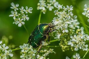 close up van een metallic groene kever foto
