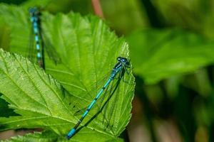 close-up van twee blauwe waterjuffers op groene bladeren foto
