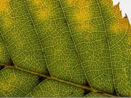 onderzijde van een doorschijnend herfstblad in verschillende tinten foto