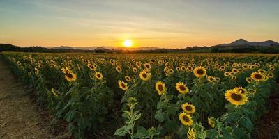 bloeiende zonnebloemplanten op het platteland bij zonsondergang foto