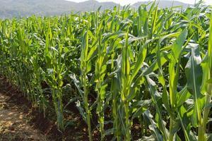 groene maïs boerderij achtergrond en zonlicht foto