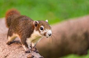 jonge eekhoorn die op een boom in een stadscentrum loopt foto