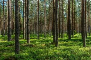 avondzon op een dennenbos foto