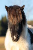 portret van een pinto paard foto
