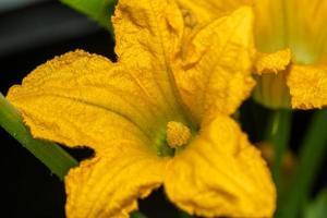 gele pompoenbloemen foto