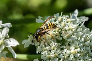 wesp op fluitenkruid bloem foto