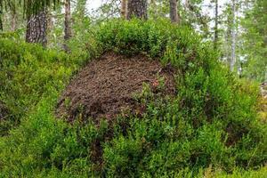 close-up van een mierenhoop bedekt met takjes bosbessen foto