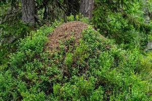 gigantische mierenhoop bedekt met takjes bosbessen foto
