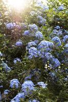 blauwe bloemen in huis tuin foto