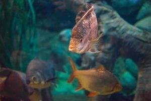oceaanvissen in een groot aquarium met algen en vissen van andere soorten foto