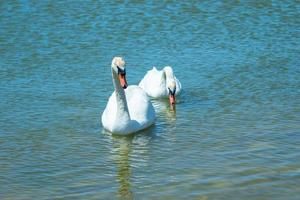 witte zwanen op het wateroppervlak van het meer. schoonheid van de natuur foto