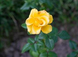 knop gele rozen bloeien in de tuin foto