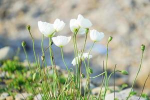 florale achtergrond met witte klaproos uit het Verre Oosten foto